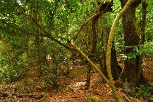 La Larisylve Los Tilos de Moya<br> Parque Rural de Doramas<br> Île de Grande Canarie