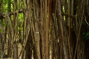 Le Figuier maudit ou étrangleur (Ficus citrifolia)<br> L'Îlet Chancel<br> Parc Naturel Régional de La Martinique
