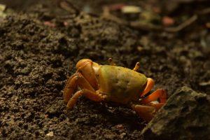Le Crabe de terre commun (Cardisoma guanhumi)<br> L'Îlet Chancel<br> Parc Naturel Régional de La Martinique