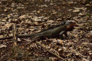 L'Iguane des Petites Antilles (Iguana delicatissima) endémique des Petites Antilles<br> L'Îlet Chancel<br> Parc Naturel Régional de La Martinique
