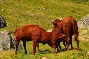 Troupeau de Vaches de race Salers (Bos taurus)<br> Le Puy de Sancy<br> Parc Naturel Régional des Volcans d'Auvergne