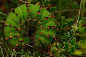 Chenille de Petit Paon de nuit (Saturnia pavonia)<br> Parc Naturel Régional des Volcans d'Auvergne