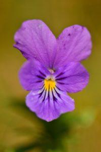 La Pensée sauvage (Viola lutea)<br> Le chemin de crête du Puy de la Tache &amp; le Puy de l'Angle<br> Parc Naturel Régional des Volcans d'Auvergne