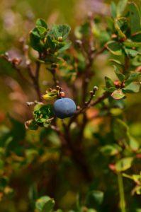 La Myrtille (Vaccinium myrtillus)<br> Le chemin de crête du Puy de la Tache &amp; le Puy de l'Angle<br> Parc Naturel Régional des Volcans d'Auvergne