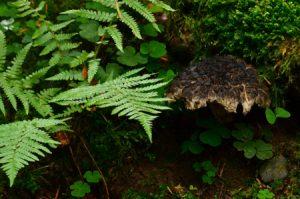 Le Bolet pomme de pin (Strobilomyces strobilaceus)<br> La Cascade de la Vernière<br> Parc Naturel Régional des Volcans d'Auvergne
