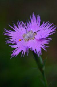 L'Œillet de Montpellier (Dianthus hyssopifolius)<br> Le Puy des Goules<br> Parc Naturel Régional des Volcans d'Auvergne