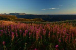 L'Épilobe en épi (Chamerion angustifolium)<br> La Banne d'Ordanche<br> Parc Naturel Régional des Volcans d'Auvergne