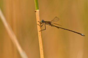 Le Leste verdoyant mâle (Lestes virens)<br> [Critères : pas de pruine sur S1; ptérostigma brun clair]<br> Parc Naturel Régional de la Brenne