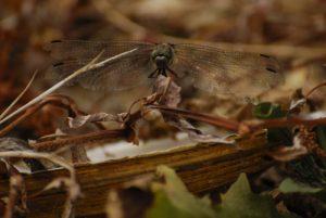 Vieille femelle d'Orthétrum réticulé (Orthetrum cancellatum)<br> Parc Naturel Régional de la Brenne