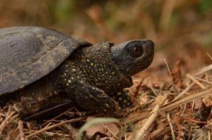 La tortue mâle Cistude d'Europe (Emys orbicularis)<br> Parc Naturel Régional de la Brenne