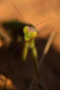 La Mante religieuse (Mantis religiosa)<br> La Calanque de Figuerolles<br> Parc National des Calanques