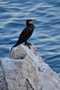 Le Grand Cormoran ou Cormoran commun (Phalacrocorax carbo) dans la Calanque de Port Miou<br> Les Calanques de Cassis<br> Parc National des Calanques