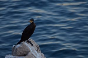 Le Grand Cormoran ou Cormoran commun (Phalacrocorax carbo) dans la Calanque de Port Miou<br>