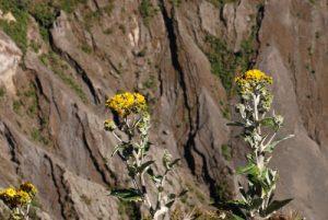Fleurs jaunes devant le lac vert &amp; acide du cratère principal du Volcan Irazú (3 432 mètres d'altitude / 300m de profondeur / 1000m de diamètre)<br> Parc national du Volcán Irazú<br> Le Costa-Rica