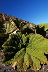 L'ombrelle du pauvre (Gunnera insignis)<br> Parc national du Volcán Irazú<br> Le Costa-Rica