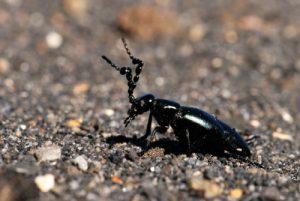 Petit insecte sur Playa hermosa<br> Parc national du Volcán Irazú<br> Le Costa-Rica