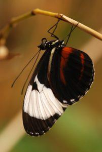 Papillon<br> Los jardines de la Catarata La Paz<br> Le Costa-Rica