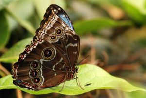 Papillon Morpho bleu (Morpho peleides limpida)<br> Los jardines de la Catarata La Paz<br> Le Costa-Rica