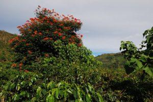 Flamboyant<br> Le Costa-Rica