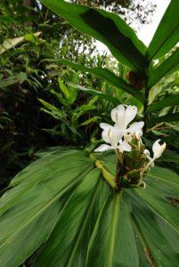 Flore de Guayabo<br> Parc Monumento nacional Guayabo<br> Costa-Rica
