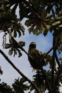 Paresseux à 3 doigts (Bradypus variegatus)<br> Parc Monumento nacional Guayabo<br> Costa-Rica