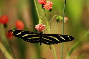 Papillon<br> Parc Monumento nacional Guayabo<br> Costa-Rica