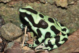 Grenouille du genre Dendrobate (Dendrobates auratus)<br> Parc de Cahuita<br> Costa-Rica