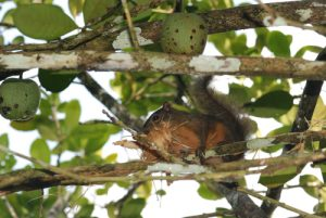 Ecureuil variable (Sciurus variegatoides) / Ardilla variable / Variegated Squirrel<br>