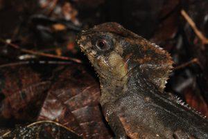 Iguane casqué (Corytophanes cristatus) / Perro sompopo / Casque-headed Lizard<br> Parc de Manzanillo<br> Costa-Rica