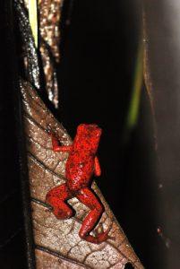 Dendrobate (Denderobates granulifera ?)<br> Parc de Manzanillo<br> Costa-Rica