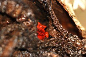 Dendrobate (Denderobates granulifera ?)  Parc de Manzanillo Costa-Rica
