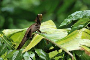 Iguane casqué (Corytophanes cristatus) / Perro sompopo / Casque-headed Lizard<br> Parc de Cahuita<br> Costa-Rica