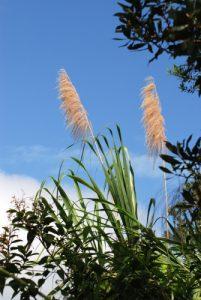 Canne à sucre<br> Parc du volcan Arenal<br> Costa-Rica