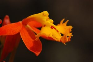 Orchidée Epidendrum (Epidendrum radicans)<br> Parc du volcan Arenal<br> Costa-Rica