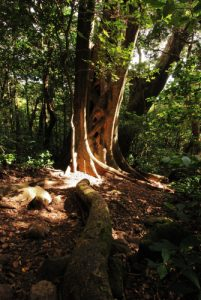 Arbre de la forêt tropicale<br> Parc du volcan Rincon de la Vieja<br> Costa-Rica