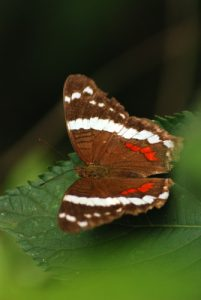 Papillon<br> Parc du volcan Rincon de la Vieja<br> Costa-Rica