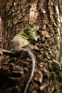 Iguane<br> Parc du volcan Rincon de la Vieja<br> Costa-Rica
