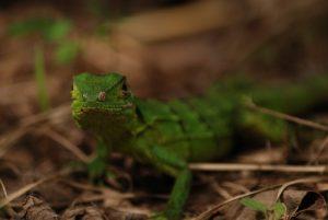 Lézard vert<br> Parc du volcan Rincon de la Vieja<br> Costa-Rica