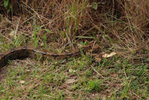 Serpent Boa Constructeur (Boa constrictor)<br> Parc du volcan Rincon de la Vieja<br> Costa-Rica