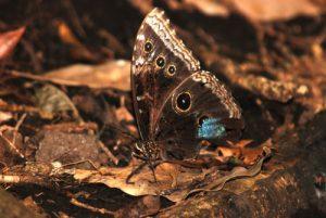 Papillon Morpho bleu (Morpho peleides limpida)<br> Parc du volcan Rincon de la Vieja<br> Costa-Rica
