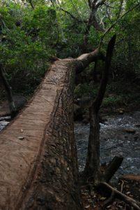 Arbre de la forêt tropicale (Sendero circular Las Pailas)<br> Parc du volcan Rincon de la Vieja<br> Costa-Rica