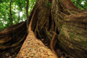 Arbre de la forêt tropicale (Sentier du Cratère)<br> Parc du volcan Rincon de la Vieja<br> Costa-Rica