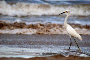 Grue sur la plage de Conchal<br> Péninsule de Nicoya<br> Costa-Rica
