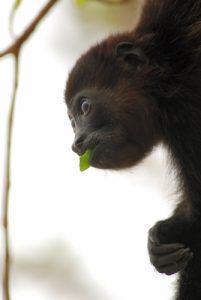 Singe hurleur (Alouatta palliata) / Mono congo / Mantled Howler Monkey<br> Playa Conchal<br> Péninsule de Nicoya Costa-Rica