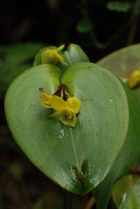 Orchidée (Pleurothallis titan ?)<br> Parc Santa-Elena<br> Costa-Rica