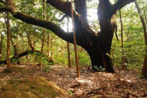 Arbre de la forêt tropicale (Sentier Catarat escondida)<br> Parc du volcan Rincon de la Vieja<br> Costa-Rica