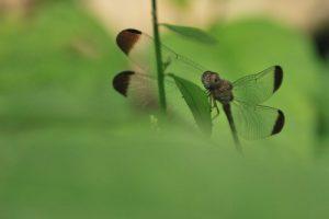 Libellule (Uracis imbuta)<br> Parc de Carara<br> Costa-Rica