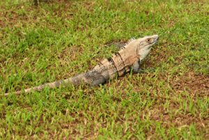 Iguane<br> Parc de Carara<br> Costa-Rica