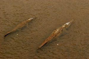 Crocodiles du pont de Tarcoles<br> Parc de Carara<br> Costa-Rica