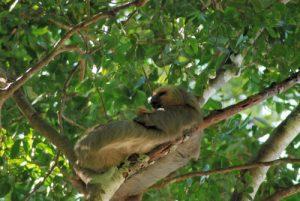 Paresseux à 2 doigts (Choleoptus hoffmanni)<br> Parc Manuel-Antonio<br> Costa-Rica